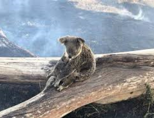 Donatie Koalas